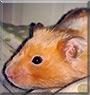 Frank the Cinnamon Banded Hamster