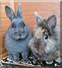 Bunny, Feli the Lion head mix, Dutch Bunny
