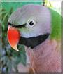 Milo the Moustache Parakeet