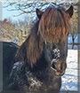 Töfrun the Islandic horse