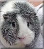 Silver the Guinea Pig