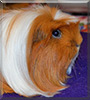 Carmen the Guinea Pig