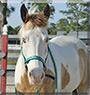 Gringo the American Paint Horse