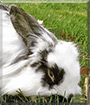 Ozzie the Lionhead Rabbit mix