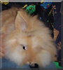 Puschel the Lionhead Rabbit
