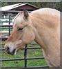Fiji the Fjord Horse