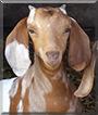 Jigsaw the Boer Goat