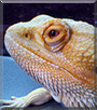 Kipling the Bearded Dragon