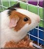 Pasqual the Guinea Pig