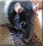 Venzu the Fancy Rat