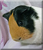 Carmel the Guinea Pig