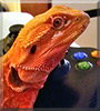 Rusty the Bearded Dragon