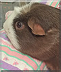 Coco the Smooth Guinea Pig