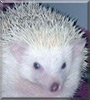 Bubbles the African Pygmy Hedgehog