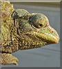 Darnell the Jackson's Chameleon