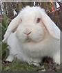 Schneeweißchen the Dwarf Lop Rabbit
