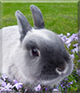 Tiffin the Netherland Dwarf Rabbit