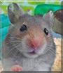 Mak the Syrian Hamster