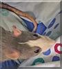 Nima the Fancy Rat