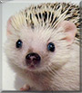 Robb the African Pygmy Hedgehogt