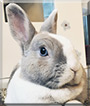 Tiffo the Dwarf Rabbit