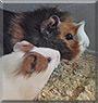 Čičko & Mala Šapa the Guinea Pigs
