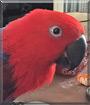 Venus the Eclectus Parrot