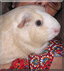 Charlotte the Guinea Pig