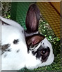Oreo the English Spot Rabbit