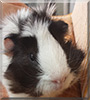 Oreo the Guinea Pig