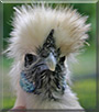 Bob the Silkie Chicken