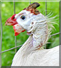 Angel the Guinea Fowl