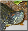 Shelly the Red eared Slider Turtle