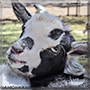 Cookies and Cream the Nigerian Dwarf Goat