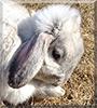 Loppie the Dwarf Lop Rabbit