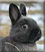 Batman the Netherland Dwarf, Polish Rabbit
