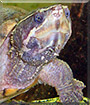 Hairy the Musk Turtle