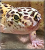 Molly the Leopard Gecko