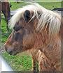 Godzilla the Shetland pony