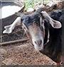 Mocha the Goat