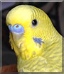 Petey the Green Greywing Parakeet