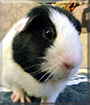 Yeager the Guinea Pig
