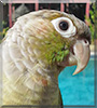 May the Green Cheek parrot