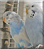 Sissi, Rocky the Budgerigars