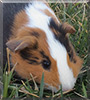Callie-Grace, the Guinea Pig