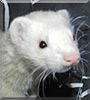 Milo, the ferret