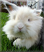 Muru the Lionhead/Lop Rabbit