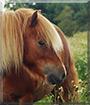 Cupid the Shetland Pony