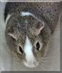 Juno the American Guinea Pig