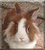 Bunny the Lionhead Rabbit